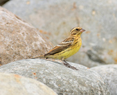 金鵐 Yellow-breasted Bunting  :DSC_7181.JPG