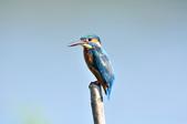 翠鳥  Common Kingfisher  :DSC_2471.JPG