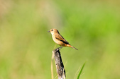 黑喉鴝Common Stonechat  :DSC_9416.JPG