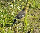 黃頭鶺鴒〈雌〉:DSC_9880.JPG