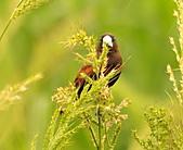 黑頭文鳥:DSC_5118.JPG
