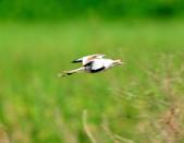 水雉Pheasant-tailed Jacana :DSC_8924.JPG