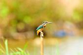 翠鳥  Common Kingfisher       :DSC_6016.JPG