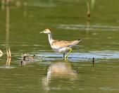水雉Pheasant-tailed Jacana :DSC_8994.JPG