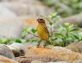 金鵐 Yellow-breasted Bunting  :DSC_6628.JPG