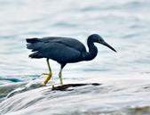 岩鷺  Pacific Reef Egret    :DSC_2099.JPG