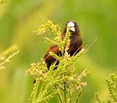 黑頭文鳥:DSC_5119.JPG