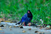 台灣藍鵲  Taiwan Blue Magpie :DSC_2323.JPG