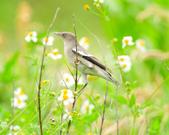 灰背椋鳥  Gray-backed Starling :DSC_6883.JPG