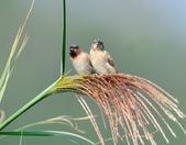 斑文鳥 Nutmeg Mannikin :DSC_6033.JPG
