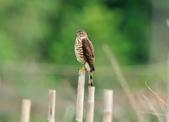 松雀鷹Besra sparrow hawk :DSC_2072.JPG