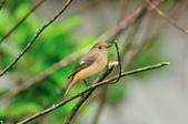 黃尾鴝 Daurian Redstart  :DSC_2286.JPG