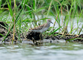 雲雀鷸Long-toed stint  :DSC_2279.JPG