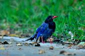 台灣藍鵲  Taiwan Blue Magpie :DSC_2322.JPG