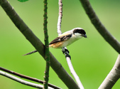 棕背伯勞 Black-headed Shrike   :DSC_3299.JPG