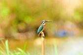 翠鳥  Common Kingfisher       :DSC_6006.JPG