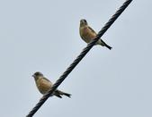 金翅雀  Oriental Greenfinch     :DSC_5344.JPG
