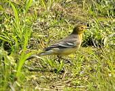 黃頭鶺鴒〈雌〉:DSC_9898.JPG