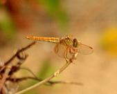 蜻蜓:DSC_8744.JPG