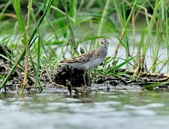 雲雀鷸Long-toed stint  :DSC_2281.JPG