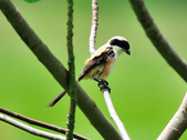 棕背伯勞 Black-headed Shrike   :DSC_3305.JPG