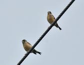 金翅雀  Oriental Greenfinch     :DSC_5345.JPG