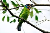 五色鳥  Muller's Barbet   :DSC_3652.JPG
