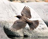 黑鶇〈雌〉:DSC_8625.JPG