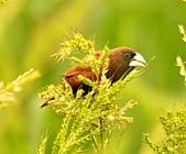 黑頭文鳥:DSC_5123.JPG