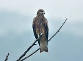 老鷹   Black kite :DSC_1402.JPG