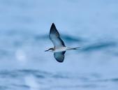 白眉燕鷗Bridled Tern :DSC_0405.JPG