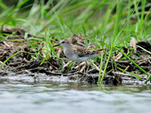 雲雀鷸Long-toed stint  :DSC_2269.JPG