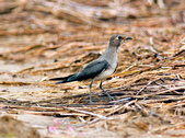 燕鴴 Large Indian Pratincole :DSC_2556.JPG