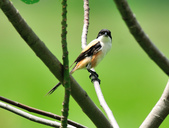 棕背伯勞 Black-headed Shrike   :DSC_3307.JPG