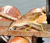 黃小鷺:DSC_4904.JPG