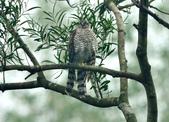 北雀鷹  Northern Sparrow Hawk :DSC_1464.JPG