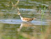 水雉Pheasant-tailed Jacana :DSC_8990.JPG
