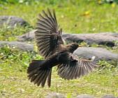 黑鶇〈雌〉:DSC_8818.JPG