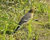 黃頭鶺鴒〈雌〉:DSC_9882.JPG