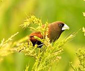 黑頭文鳥:DSC_5125.JPG