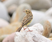 金鵐 Yellow-breasted Bunting  :DSC_7160.JPG