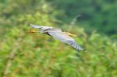 紫鷺     Purple Heron:DSC_0929.JPG