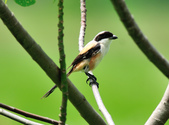 棕背伯勞 Black-headed Shrike   :DSC_3309.JPG