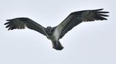 魚鷹 Osprey   :DSC_4264.JPG