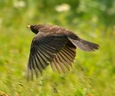 黑鶇〈雌〉:DSC_8897.JPG