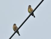 金翅雀  Oriental Greenfinch     :DSC_5332.JPG