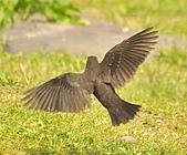 黑鶇〈雌〉:DSC_8956.JPG
