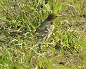 黃頭鶺鴒〈雌〉:DSC_9883.JPG