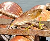 黃小鷺:DSC_4905.JPG