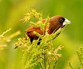 黑頭文鳥:DSC_5127.JPG
